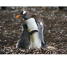 Gentoo Penguin and Chick Photographic Print