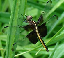 Golden Dragonfly by BLemley
