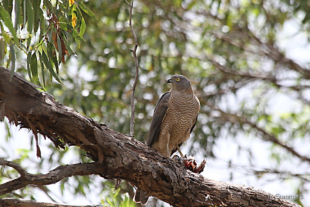 Brown Goshawk with meal by R-Summers
