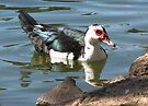 Muscovy Duck ~ Feral (Female) by Kimberly Chadwick