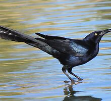 Great-tailed Grackle ~ Male by Kimberly Chadwick