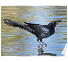 Great-tailed Grackle ~ Male Poster