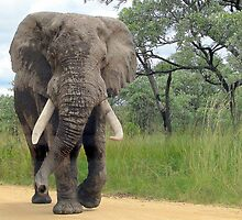 The ELEPHANT (Loxodonta Africana) by Elizabeth Kendall