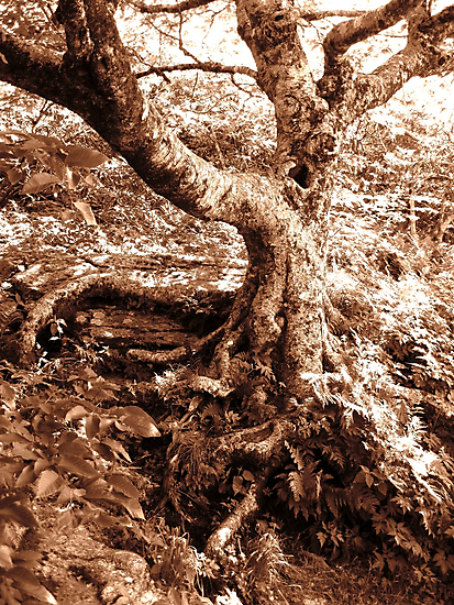 Gnarled Tree in Sepia by Glenn Cecero