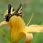 Daylily and Butterfly by BLemley