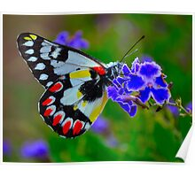 Painted Butterfly - Western Australia Poster