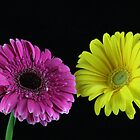 Gerbera Line Up by Isabel J Coote Photography