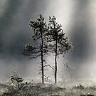 12.9.2015: Pine Trees, Autumn Morning II by Petri Volanen