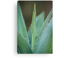 A Needle of Aloe Canvas Print