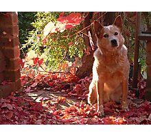 australian cattle dog - red heeler - autumn sunset Photographic Print