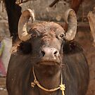 Water Buffalo, near Bharatpur by Christopher Cullen