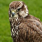 Falcon Portrait by Mark Hughes