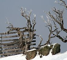 Just Chillin' - snow gums by Vanessa Lalliard