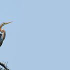 Beautiful Purple Heron against a clear blue sky by umang