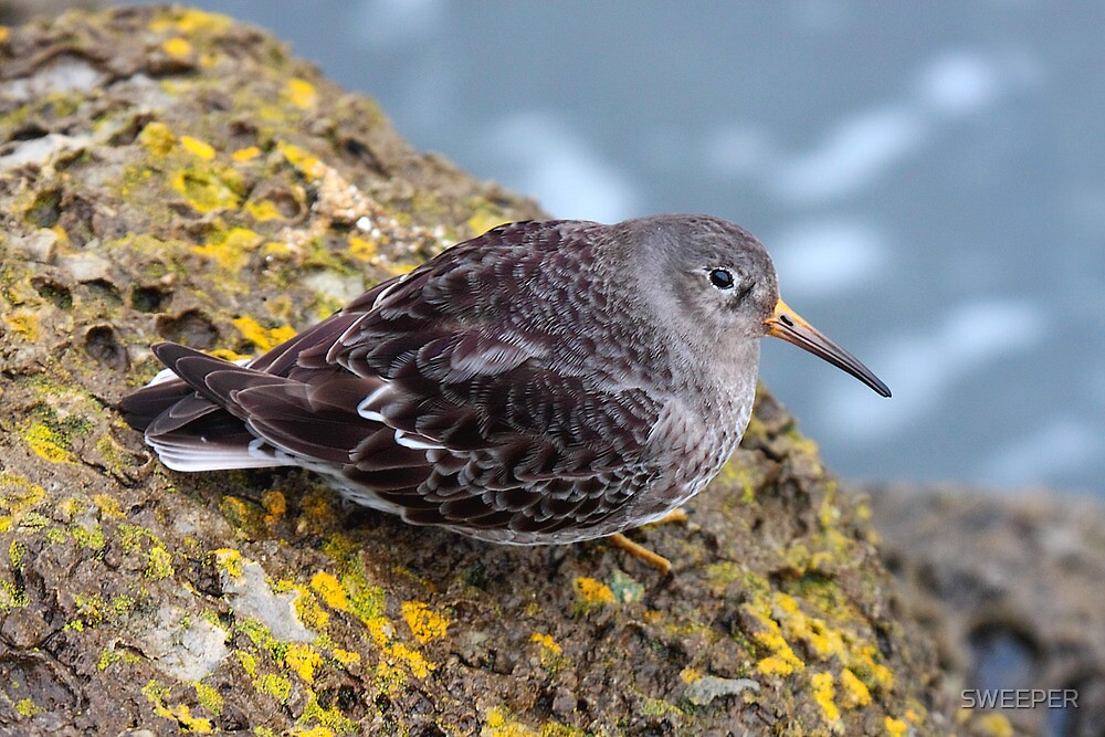 Purple Sandpiper by SWEEPER