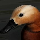 Ruddy Shelduck by Mark Hughes