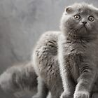 Three Scottish Fold kittens by Evgeniy Lankin