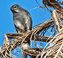 Lizard buzzard in Kotu by Shaun Whiteman