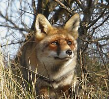 Red Fox -10131 by angeljootje