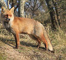 Red Fox - 2034 by DutchLumix