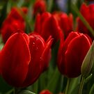 Vivid Red Tulip Garden by Georgia Mizuleva