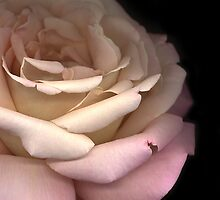 Beauty Mark: Chicago Peace Rose by tscp