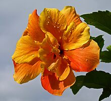 Rain drops on The Beautiful Hibiscus. by Lee d'Entremont
