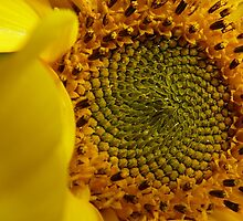 Leonardo Fibonacci - Sunflower - NZ by AndreaEL