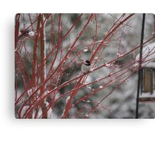 Black Capped Chickadee in red twig dogwood Canvas Print