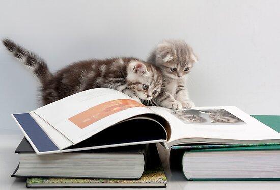 Scottish Fold kittens by Evgeniy Lankin