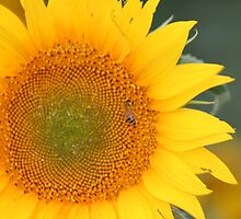 Giant Sunflower by Laura Davis