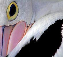 Australian Pelican by Steve Munro