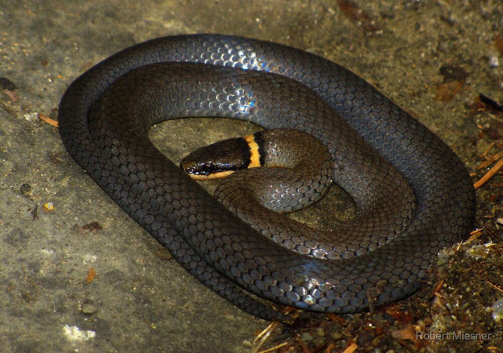 All Coiled Up (Ringneck Snake) by Robert Miesner