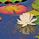Reflection of Color: Lily Pads by WTBird