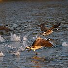 Geese taking flight 2 by jae1235
