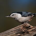 White-Breasted Nuthatch - Ottawa, Ontario by Stephen Stephen