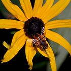 Hover Fly on a Black Eyed Susan by Diane Blastorah