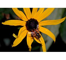 Hover Fly on a Black Eyed Susan Photographic Print