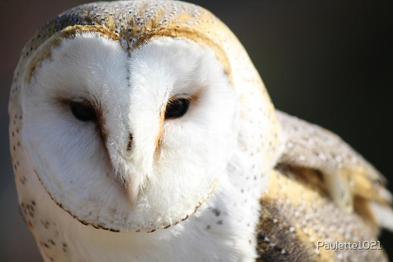 Barn Owl by Paulette1021