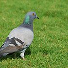 Pigeon in the grass by Ben Waggoner