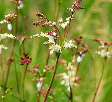 Meadow Rue Flowers by Christina Rollo
