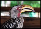 Hornbill says hallo! by Elizabeth Kendall