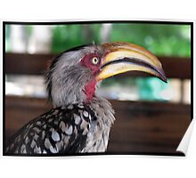 Hornbill says hallo! Poster