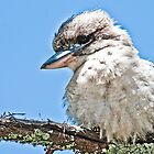 Juvenile Kookaburra by Tom Newman