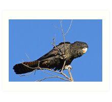 Red-Tail Black Cockatoo (Female) Art Print