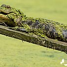 Gator Hanging Out by TJ Baccari Photography