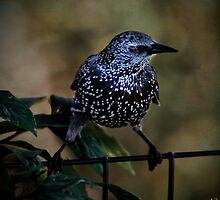 Mr. Starling by Chris Lord