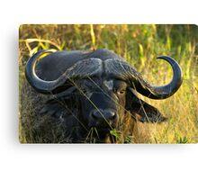 Cape Buffalo, South Africa Canvas Print