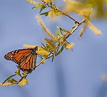 Monarch Clear Blue by Capt. Charles McKelroy