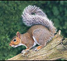 Grey Squirrel (Sciurus Carolinensis) by ten2eight